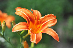 Orange lily Royalty Free Stock Photo
