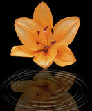 An orange lily on a black background. An orange lily with water drops on a black background showing a reflection in swirls of water Royalty Free Stock Image