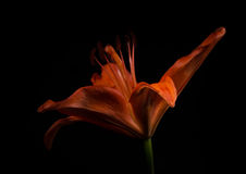 Orange Lily on Black Royalty Free Stock Image
