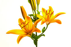 Orange lily blooming Royalty Free Stock Photo
