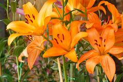 Orange  Lily Blossom. Orange Lily blossom in the park Stock Photo