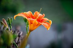 The orange lily blossomed in  garden. Summer flowers in  garden_. The orange lily blossomed in  garden. Summer flowers in  garden Royalty Free Stock Photos