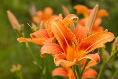 Orange lily on a blurry green grass background. Close-up of a single flower growing Royalty Free Stock Photo