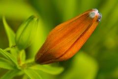 Orange lily bud Stock Image