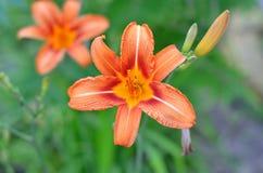 Orange lily bud close-up. Royalty Free Stock Images