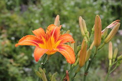Orange lily with buds Royalty Free Stock Photos
