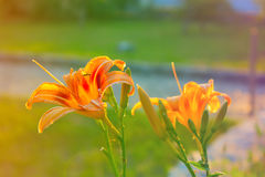 Orange lily. With buds.Lilium, Lily, Lilies, Lilium candidum Stock Image