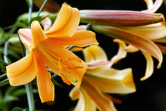Orange lily bush Stock Photography