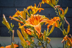 Orange lily in Canada stock image