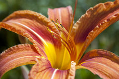 Orange lily Royalty Free Stock Photography