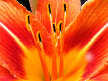 Orange lily. Closeup of orange lily petals Royalty Free Stock Photos