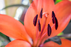 Orange lily detail Royalty Free Stock Photography