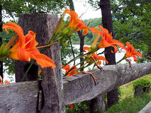 Orange lily on fence. Orange lilies resting on rustic fence Stock Photography