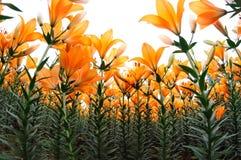 Orange lily flower stock photos