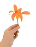 Orange lily flower Stock Photography