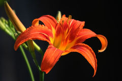 Orange Lily flower. Lying on dark background Stock Image
