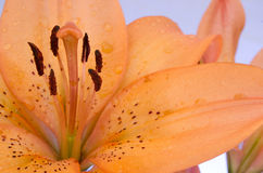 Orange Lily Flower. This is a beautiful lily flower in a close up Royalty Free Stock Photos