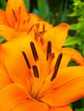 Orange Lily Flower Royalty Free Stock Photo