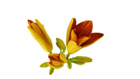 Orange lily flower in bloom. Time lapse video blooming lilies on white background. Top view stock video footage