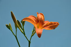 Orange Lily flower with buds left on blue sky background in nature royalty free stock photography