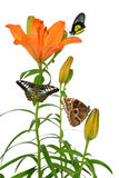 Orange lily flower with butterflies Royalty Free Stock Photo