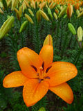 Orange lily  flower Stock Photo