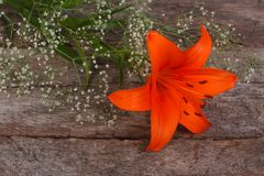 Orange lily flower framed by baby's breath Royalty Free Stock Photo