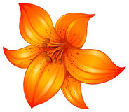 An orange lily flower Royalty Free Stock Images