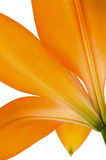 Orange lily flower isolated Royalty Free Stock Photo