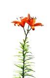 Orange lily flower isolated Royalty Free Stock Image