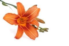 Orange lily flower isolated on white background Stock Image