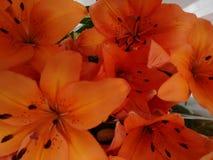 Orange lily flower Stock Image