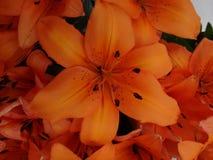 Orange lily flower Stock Photography
