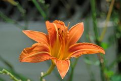 Orange lily flower in nature, isolated stock photo