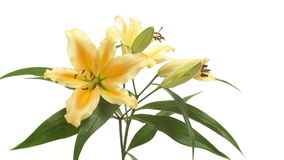 Orange Lily Flower Time-lapse stock footage