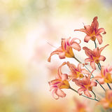 Orange Lily Flowers. Blossom of Orange Lily Flowers Royalty Free Stock Photography