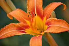 Orange lily Stock Images