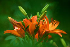 Orange lily flowers close up Royalty Free Stock Image
