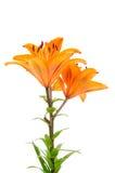 Orange lily flowers Stock Image