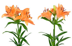 Orange lily flowers Royalty Free Stock Photo