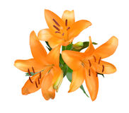 Orange lily flowers Royalty Free Stock Photos