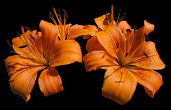 Orange Lily Flowers - Lilium Arkivbild