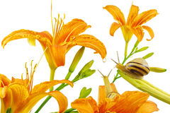 Orange lily flowers, Lilium, drop and pair of snails, isolated on white Royalty Free Stock Image
