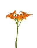 Orange lily flowers Stock Photos
