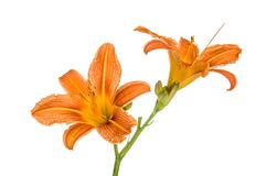 Orange lily flowers Stock Images