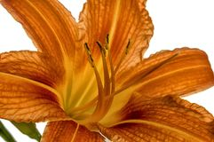 Orange lily flowers Royalty Free Stock Image