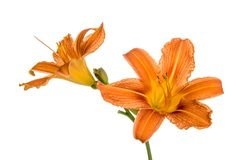 Orange lily flowers Royalty Free Stock Photography