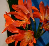 Orange lily flowers, lily flowers with dew drops stock photo