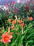 Orange lily flowers with a red shrub. Orange and yellow plants in a country garden Stock Photo
