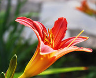 Orange lily with flying insect Stock Photo
